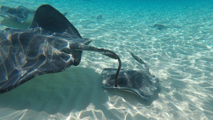 picture of stingrays underwater