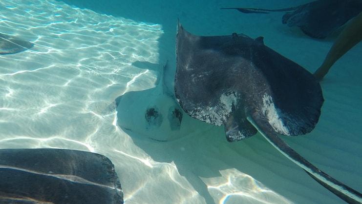 picture of three stingrays underwater