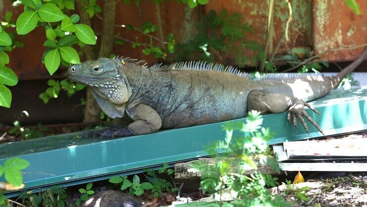 picture of a blue iguana