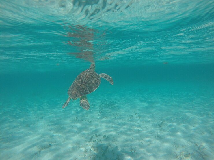 picture of a turtle in the sea