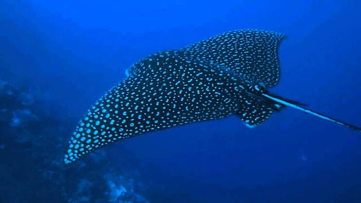 picture of eagle ray